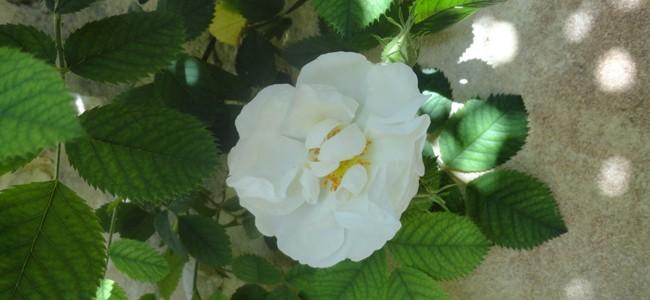 Une rose de Roussas, village réputé pour ses roses